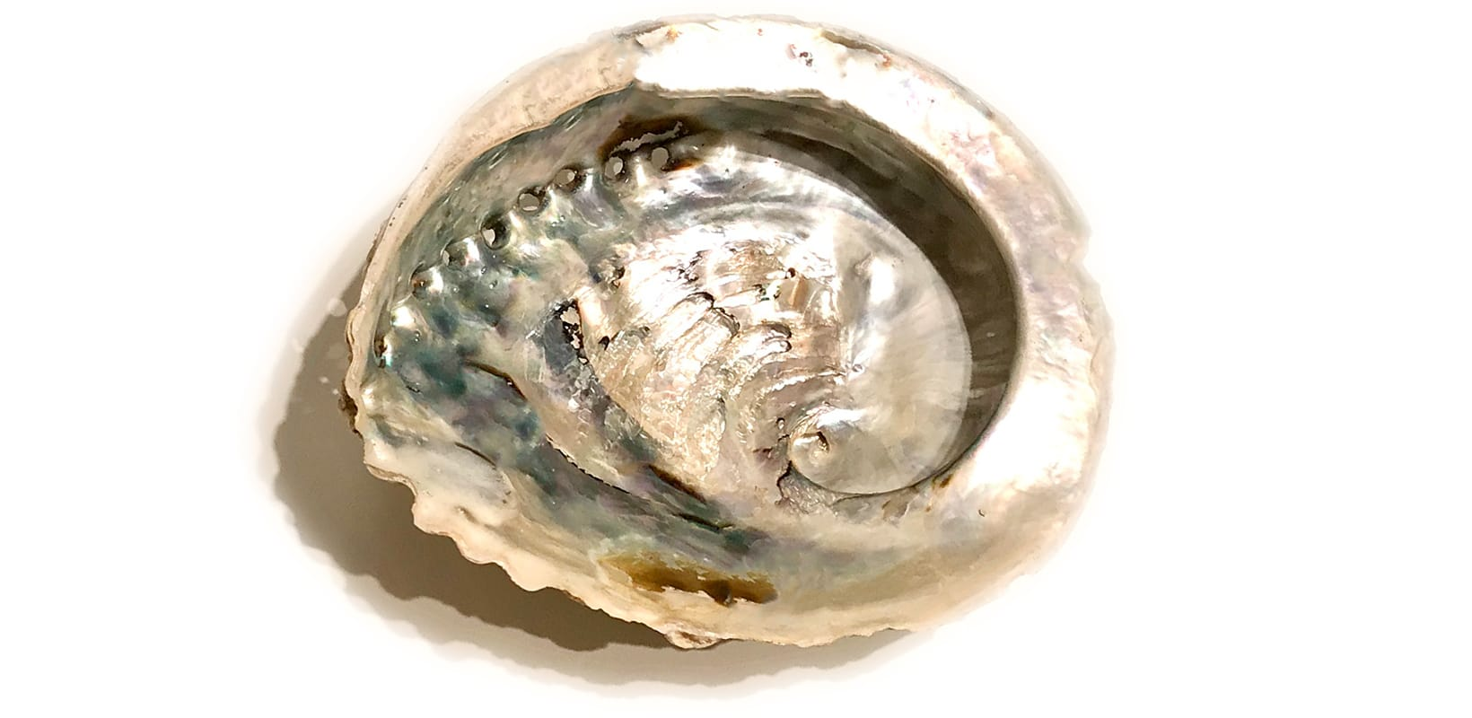 Abalone - weiß