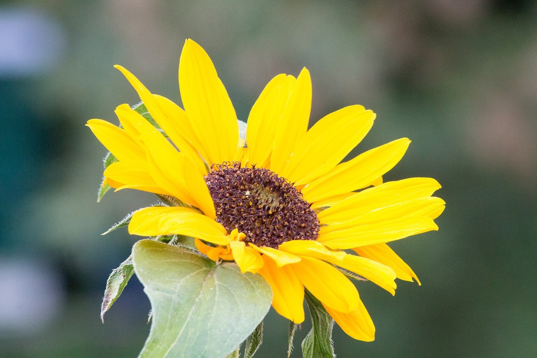 Sonnenblumen in der Magie