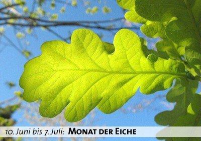 Keltischer Baumkalender - Monat der Eiche