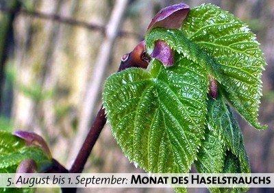 Keltischer Baumkalender - Monat des Haselstrauchs