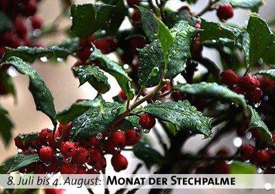 Keltischer Baumkalender - Monat der Stechpalme